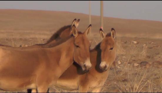 全球仅有7000头!9匹世界濒危动物蒙古野驴在内蒙古安家了